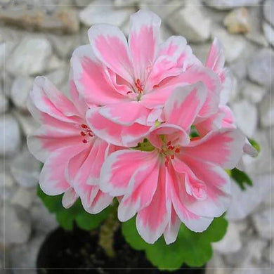 Geranium Light Pink Petals with White Edge 15 Pcs Flowers Seeds