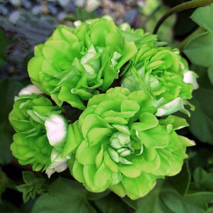 Heirloom Garden 15 Pcs Flowers Seeds Light Green Geranium