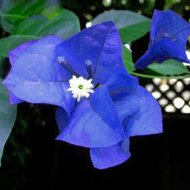 Blue Bougainvillea 300 Pcs Flowers Seeds