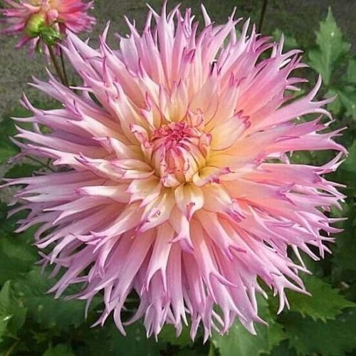 Pink Colour White Core Dahlia 200 Pcs Flowers Seeds