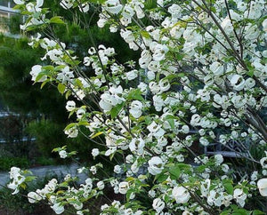 Cornus Florida Urbiniana - Mexican Dogwood 15+ Flowers Seeds