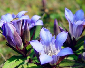 Gentiana Scabra 200 Pcs Flowers Seeds
