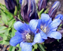 Load image into Gallery viewer, Gentiana Scabra 200 Pcs Flowers Seeds