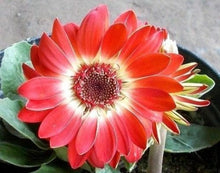 Load image into Gallery viewer, Hybrid Gerbera Daisy 80 Pcs Flowers Seeds
