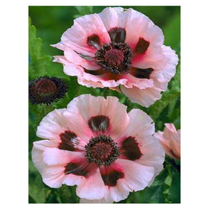 Water Red Poppy 350 Pcs Flowers Seeds