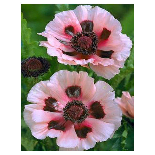 Water Red Poppy 70 Pcs Flowers Seeds