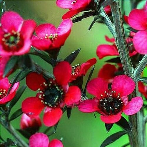 Leptospermum Scoparium 70 Pcs Flowers Seeds
