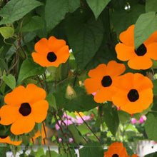 Load image into Gallery viewer, Orange 'Dream' Morning Glory 50 Pcs Flowers Seeds