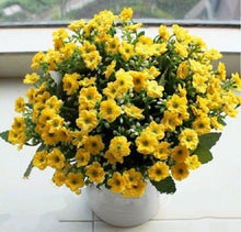 Load image into Gallery viewer, Aglaia Odorata 300 Pcs Flowers Seeds