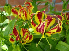 Load image into Gallery viewer, Gloriosa Superba Lily 15 Pcs Flowers Seeds
