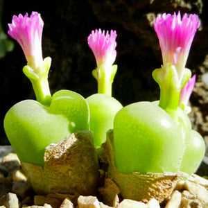CONOPHYTUM pillansii 10 Pcs Seeds