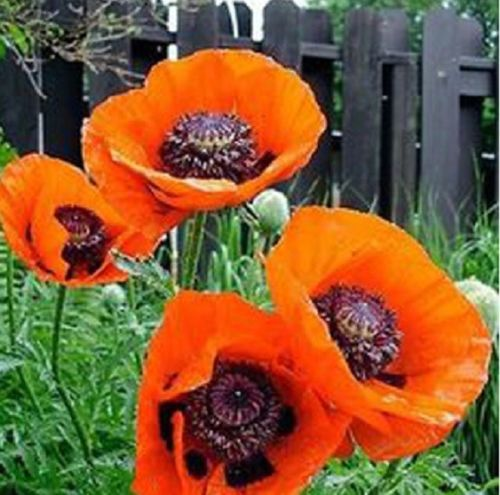Red Mix Yellow Poppy 70+ Pcs Flowers Seeds
