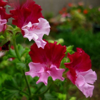 Pelargonium Graveolens 20 Pcs Flowers Seeds