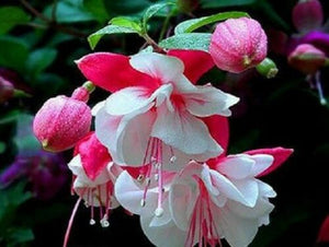 Fuchsia Double White with Light Pink 120 Pcs Flowers Seeds