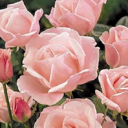 Queen Elizabeth' Hardy Shrub Rose 200 Pcs Flowers Seeds