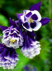 Double Pleat Blue And White Aquilegia Hybrid 150 Pcs Flowers Seeds