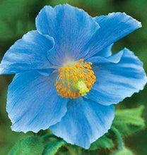 Load image into Gallery viewer, Blue Corn Iceland Poppy 70 Pcs Flowers Seeds