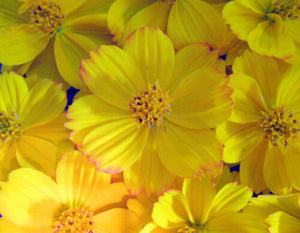 Yellow Sunshine Cosmos 200 Pcs Flowers Seeds