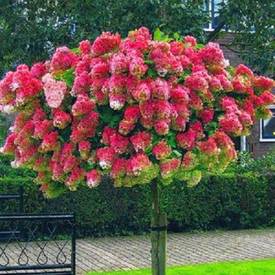 Vanilla Strawberry Hydrangea 20 Pcs Flowers Seeds