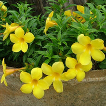 Load image into Gallery viewer, Yellow Allamanda Violacea 60 Pcs Flowers Seeds