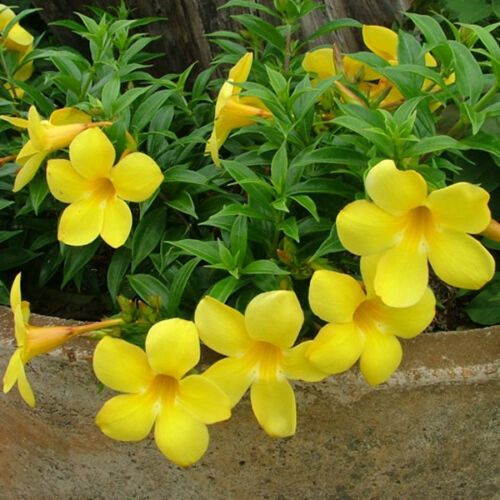 Yellow Allamanda Violacea 60 Pcs Flowers Seeds