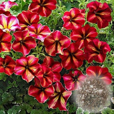 Red And White Blooming Petunia Variety 100 Pcs Flowers Seeds