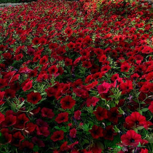 Dark Red Velour Petunia 100 Pcs Flowers Seeds