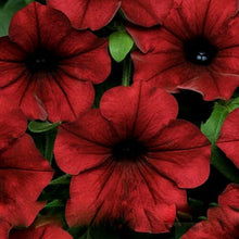 Load image into Gallery viewer, Dark Red Velour Petunia 100 Pcs Flowers Seeds