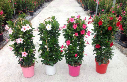 Mandevilla Sanderi -Dipladenia Mix 150 Pcs Flowers Seeds