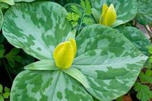 Load image into Gallery viewer, Yellow Trillium Luteum Fresh 6 Pcs Flowers Seeds