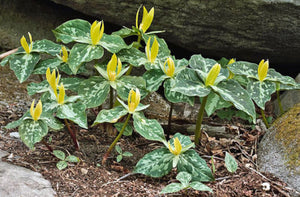 Yellow Trillium Luteum Fresh 6 Pcs Flowers Seeds