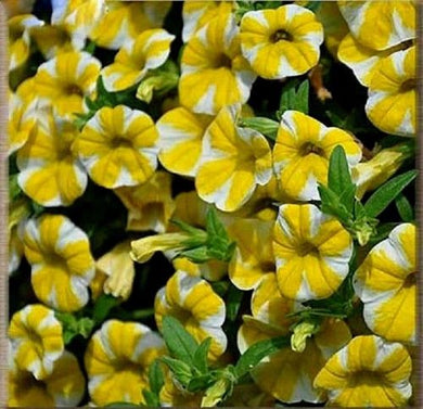 Yellow Color Star Petunia 100 Pcs Flowers Seeds