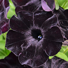 Load image into Gallery viewer, Petunia Deep Midnight 400 Pcs Flowers Seeds