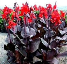 Load image into Gallery viewer, Canna Lily 15 Pcs Flowers Seeds