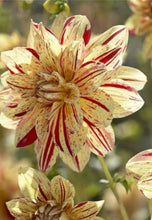 Load image into Gallery viewer, Hybrid Dahlia 60 Pcs Flowers Seeds