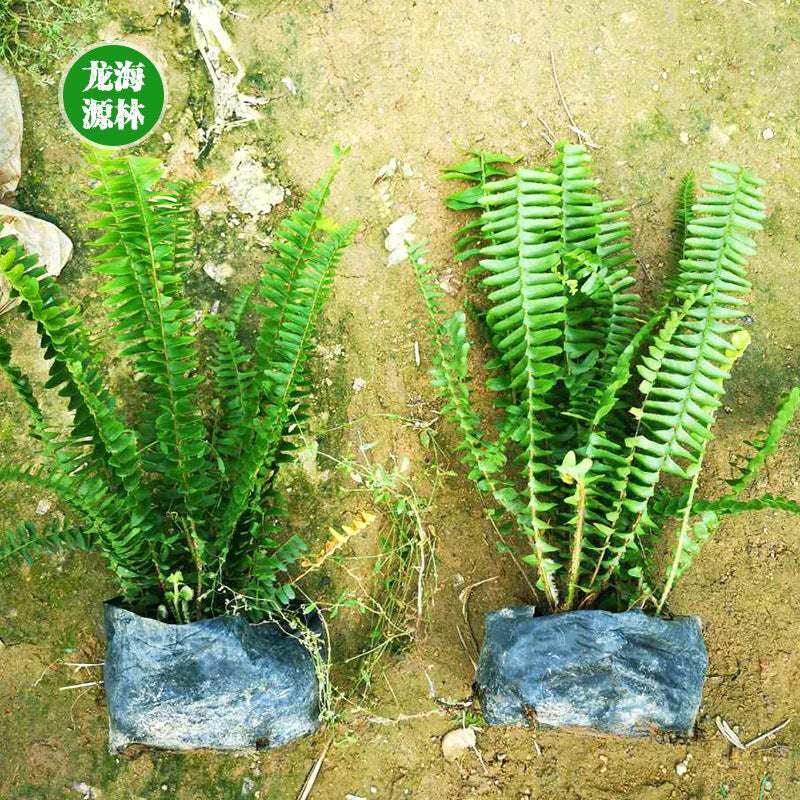 Kidney fern manufacturers low-cost direct sales to the small bag seedlings green plant kidney fern wholesale street garden garden engineering