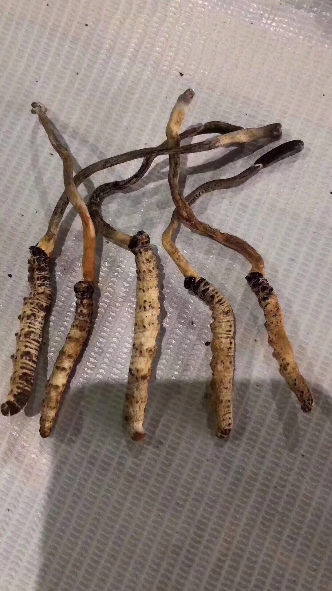 2019 dried worm grass pitch Cordyceps wholesale Cordyceps Express