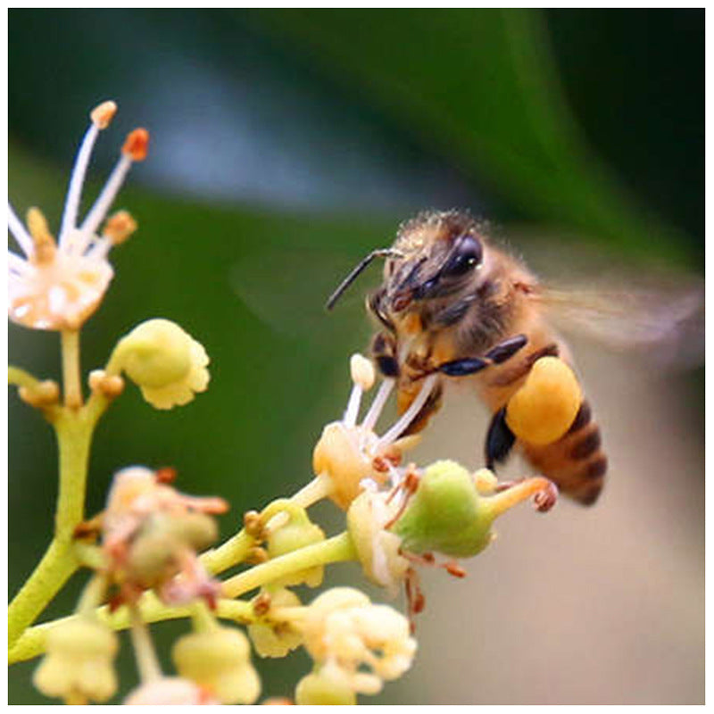 Lychee Flower Honey Guangxi Bulk Farmhouse Honey Honey Flower Juice Honey Factory Bee Farm Direct Supply Spot Wholesale