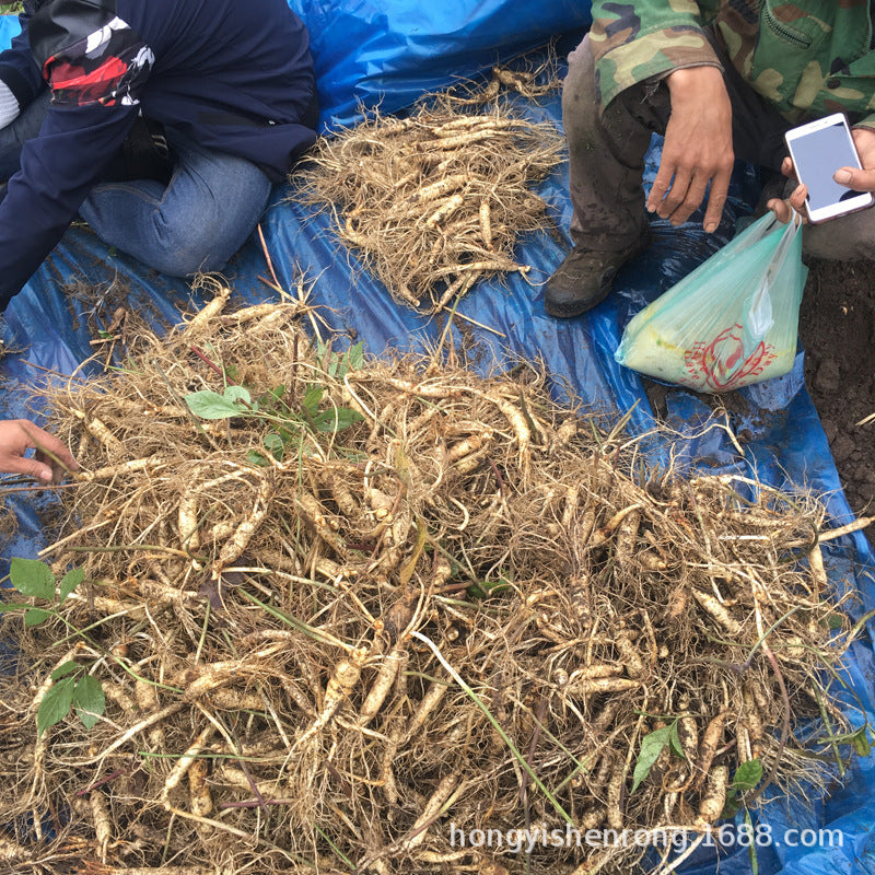 Direct sales of origin Changbai Mountain fresh ginseng Now digging with fresh ginseng farmers planting northeast specialty wholesale