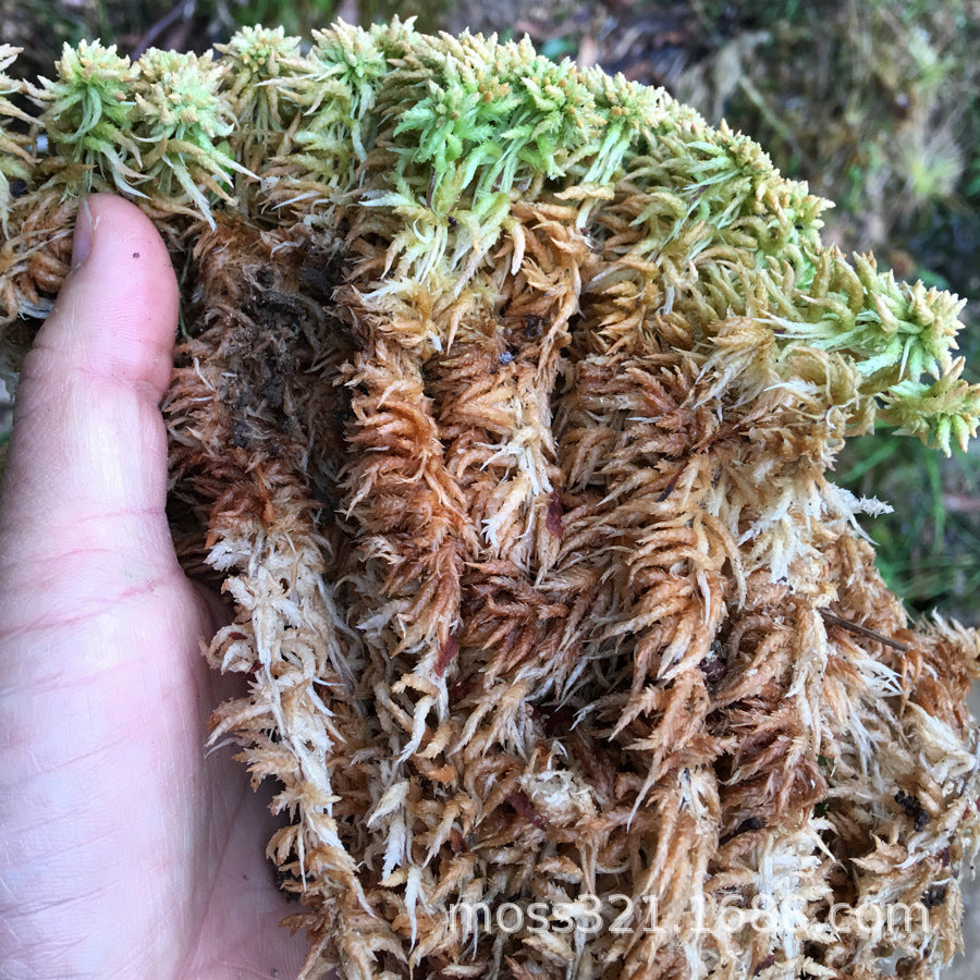 Dry water moss peat moss fleshy orchid micro landscape landscaping plant material pet mat 5 kg