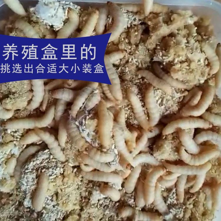 Grape honey corn worm live large wax 螟 thrush embroidered eye ostrich food small pet turtle feed bait new products