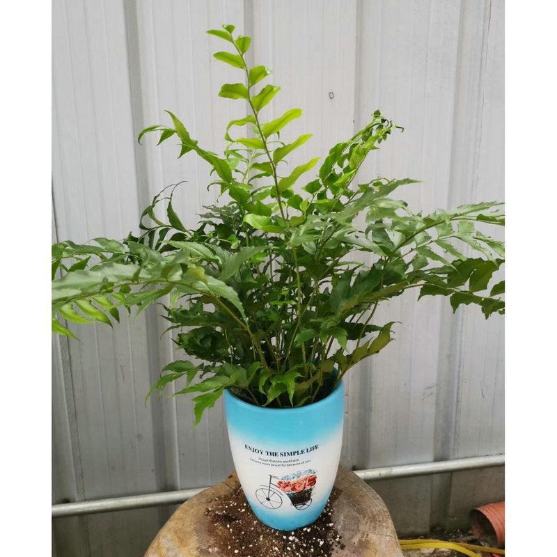Guanzhong fern potted 9 cm pot diameter