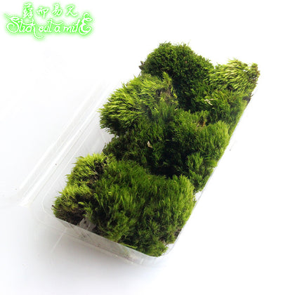 Easy to see micro landscape sand table landscaping moss moss wool 藓 15*8 boxed a box price