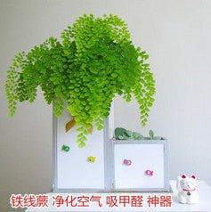 Office/indoor green plant pots, fern line, purify air, hydroponics, formaldehyde wholesale