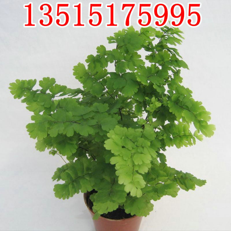 Office/indoor green plant pots, fern line, purify air, hydroponic green plant, formaldehyde wholesale