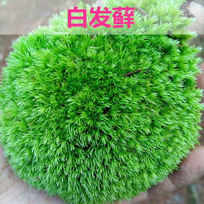 【Direct sales】Fresh live bryophyte, white hair, micro-landscape, ecological bottle, water and earth cylinder, bonsai, moss