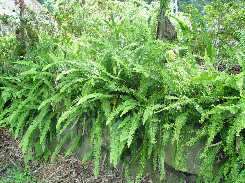 A large number of wholesale kidney ferns in Chengdu, price concessions, Taiwan No. 2 drought-tolerant, cold-resistant and trample resistant
