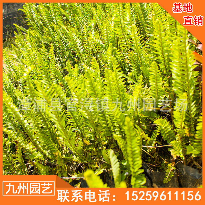 Kidney fern ground cover seedlings wholesale hoeing landscaping landscape engineering bag seedlings potted farmers household base direct sales