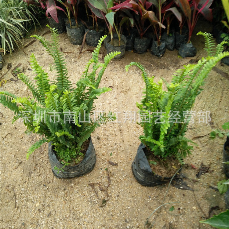 Pork ribs outdoor green fern rainforest landscaping plants Guangzhou flower base direct supply ribs grass kidney ferns