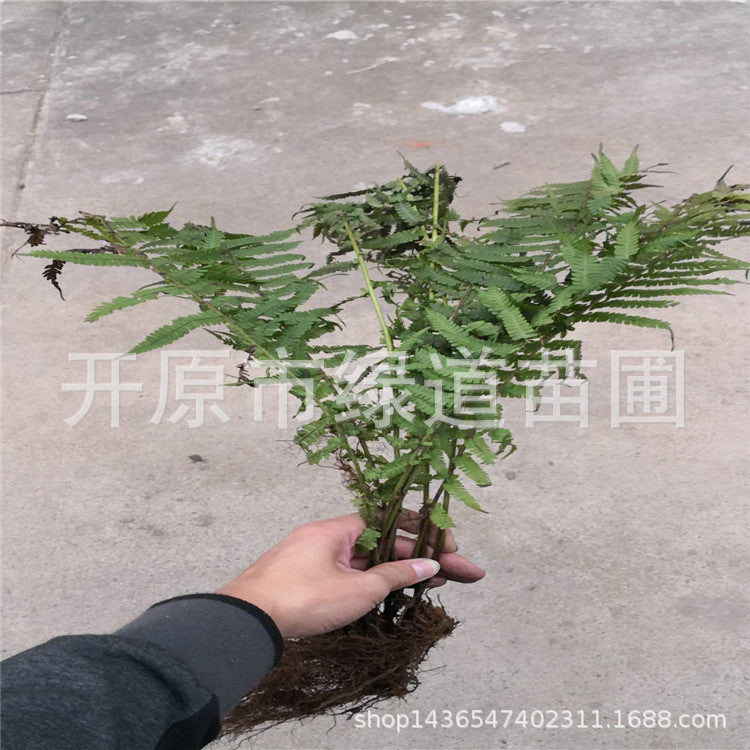 Supply pod fern shade-tolerant plant pod fern open original pod fern price Liaoning pod fern price